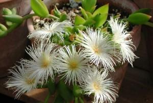 Blühende Kannapflanze.