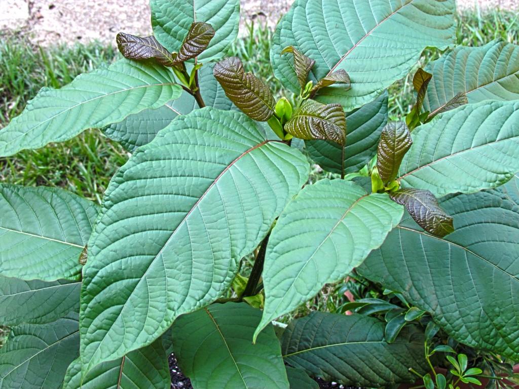 Junger Kratombaum mit der charakteristischen Blattform.