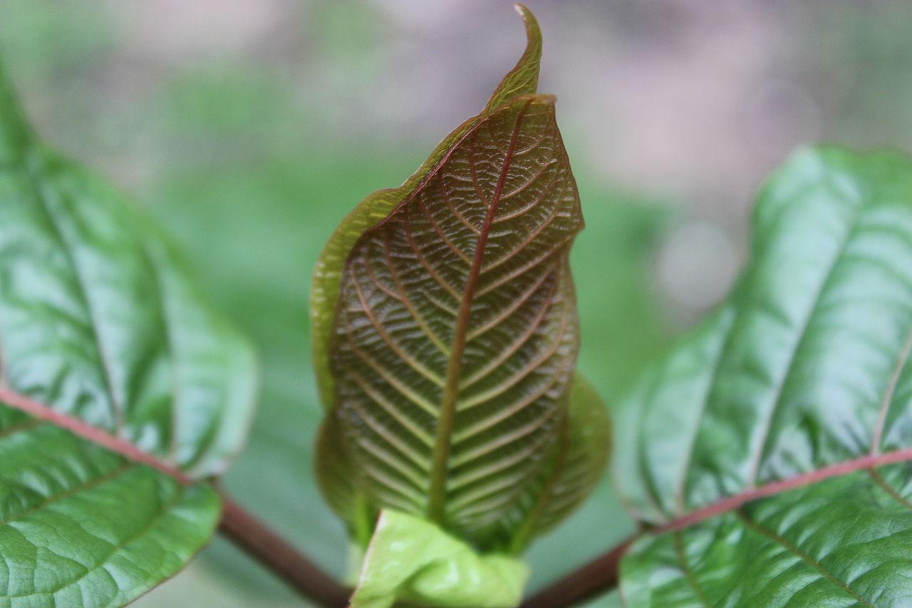 Ein junges Kratomblatt mit roten Blattvenen (Red Vein).