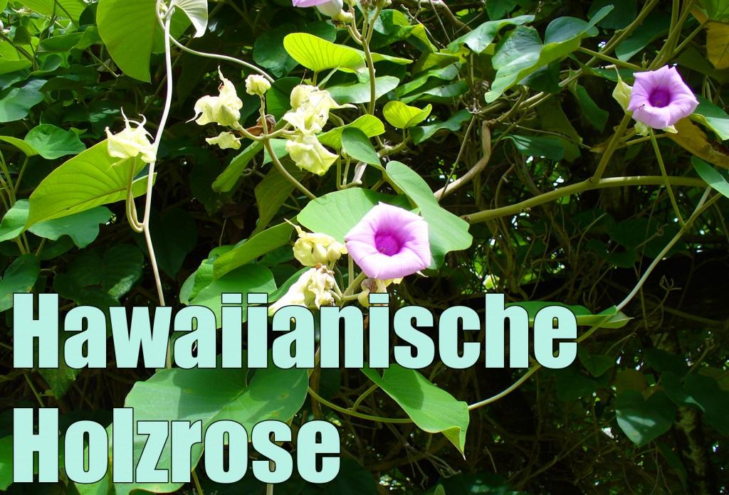 Argyreia nervosa - Hawaiianische Holzrose