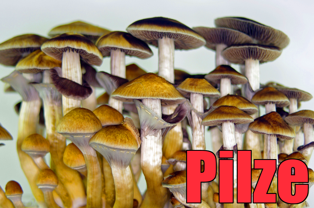 Magic Mushrooms - Psilocybe cubensis