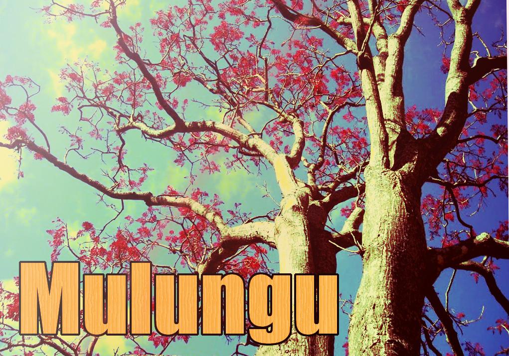 Erythrina mulungu tree