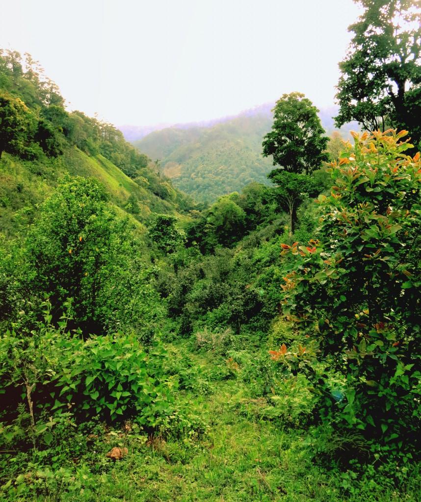 In den fruchtbaren Tälern von Myanmar wächst der frische Grüntee.
