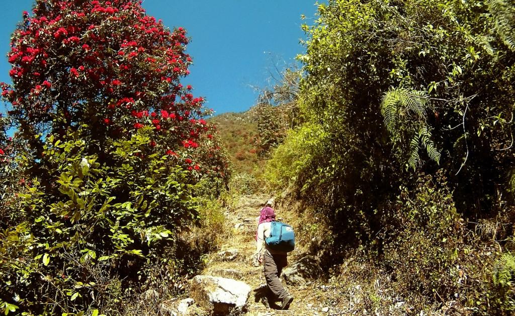 Unser Guide führt uns tiefe in die Rhododendronwälder des Himalaya.