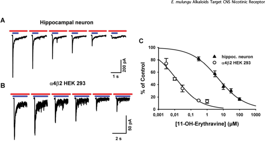 Konzentrationsabhängigkeit der antagonistischen Wirkung von 11-OH-Erythravin an α7* und α4β2 nikotinischen ACh Rezeptoren, gemessen durch Patch-Clamp-Technik. (Setti-Perdigão et al., 2013)